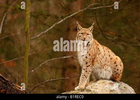 European Lynx (Lynx lynx) - Stock Photo