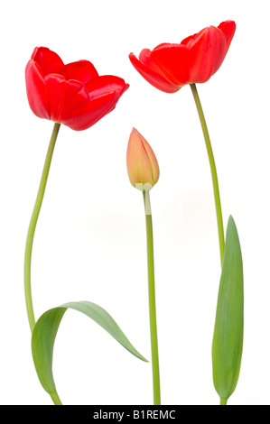 Two red Tulips (Tulipa) and a Tulip bud - Stock Photo