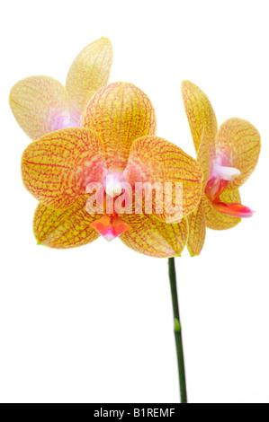 Orchid flowers, Orchidaceae (Phalaenopsis hybrid) - Stock Photo