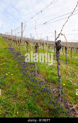 A vineyard with daisies after pruning in spring, Kleinheppacher Kopf by Stuttgart, Baden-Wuerttemberg, Germany, - Stock Photo