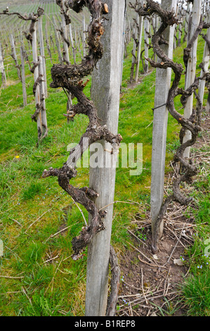 Grape-vines after pruning in spring - Stock Photo