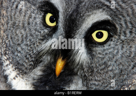Great Gray Owl, Lapland Owl (Strix nebulosa), portrait - Stock Photo