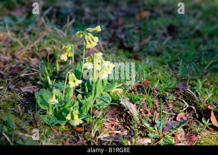 Cowslip (Primula veris), Wilhelmshoehe Park, Kassel, Hesse, Germany, Europe - Stock Photo