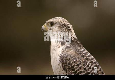 Falcon, Gyrfalcon-Saker Falcon crossbreed (Falco hybrid) - Stock Photo
