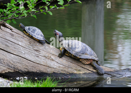 Two Red-eared Sliders (Trachemys scripta elegans) on a tree trunk in the water - Stock Photo