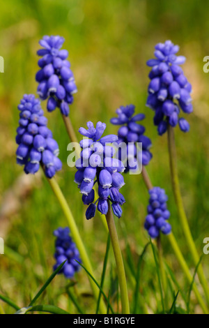 Grape Hyacinth (Muscari botryoides) - Stock Photo