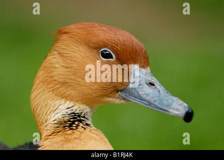 Fulvous Whistling Duck (Dendrocygna bicolor) - Stock Photo