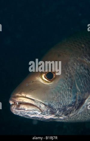 Two-spot Red Snapper (Lutjanus bohar), Maldives, Indian Ocean, Asia - Stock Photo