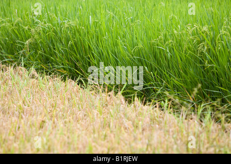 Two rice fields with different types of rice and at varying stages of ripeness, Lombok Island, Lesser Sunda Islands, - Stock Photo