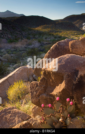 Desert wildflowers including a Beavertail Cactus  in Coyote Canyon Anza Borrego Desert State Park California - Stock Photo