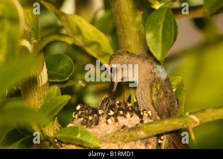 An Anna s Hummingbird Calypte anna Anza Borrego Desert State Park California - Stock Photo
