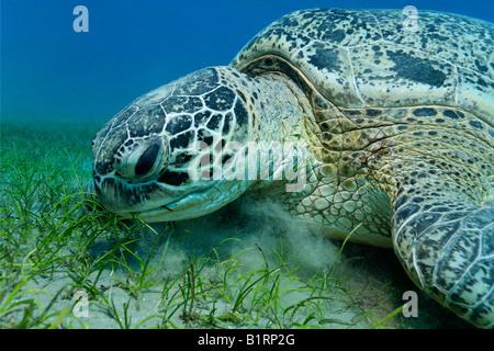Green Sea Turtle (Chelonia mydas) feeding on seaweed, Hurghada, Red Sea, Egypt, Africa - Stock Photo