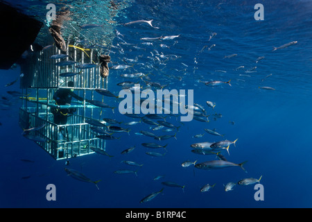 Scuba divers in a cage observing a Great White Shark (Carcharodon carcharias), Guadalupe Island, Mexico, Pacific, - Stock Photo