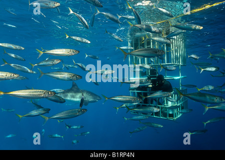 Scuba diver in a cage observing a Great White Shark (Carcharodon carcharias), Guadalupe Island, Mexico, Pacific, - Stock Photo
