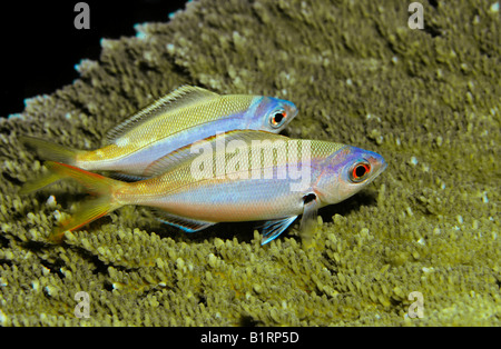 Yellow and Blueback Fusilier (Caesio teres) resting at night, Oman, Middle East, Indian Ocean - Stock Photo