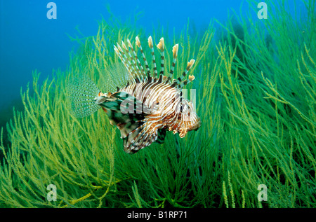 Red Lionfish (Pterois volitans) seeking protection in the branches of a black coral, Musandam, Oman, Arabian Peninsula, - Stock Photo