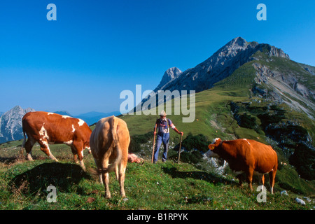 Cows grazing on alpine pasture, Ladiz-Alm, Karwendel Range, Tyrol, Austria, Europe - Stock Photo