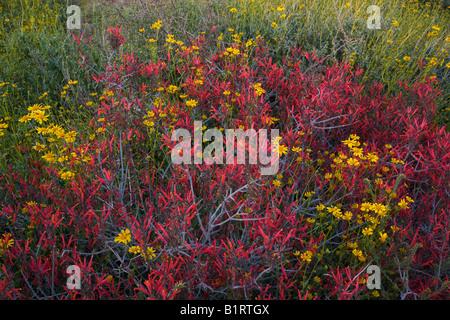 Sonoran Desert Brittlebush and chuparosa wildflowers in McDowell Mountain Regional Park near Fountain Hills - Stock Photo