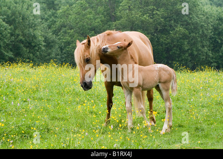 Arab-Haflinger Mare with foal, Volcano Couvinian, Rhineland-Palatinate, Germany, Europe - Stock Photo