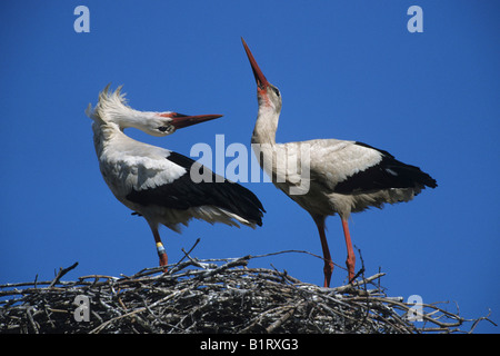 White Storks (Ciconia ciconia) greeting each other in their nest - Stock Photo