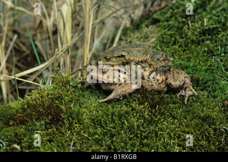 Common Toad (Bufo bufo), female carrying male on her back to spawning water - Stock Photo