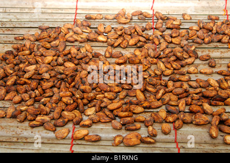 Fermented and dried cocoa beans (Theobroma cacao), Ghana, West Africa