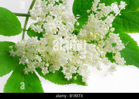 Elderberry blossoms - Stock Photo
