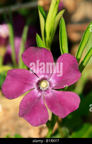 Periwinkle (Vinca minor), red-violet colored - Stock Photo