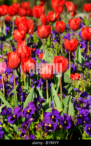Red Tulips (Tulipa) and blue pansies (Viola) - Stock Photo