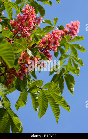 Blossoming Red Horse Chestnut, Buckeye (Aesculus carnea), Germany, Europe - Stock Photo