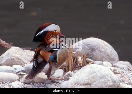 Mandarin Duck (Aix galericulata), Austria, Europe - Stock Photo