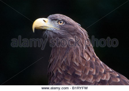 White-tailed Eagle (Haliaeetus albicilla) - Stock Photo