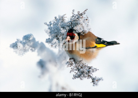 European Goldfinch (Carduelis carduelis), Zillertal Valley, Tyrol, Austria, Europe - Stock Photo