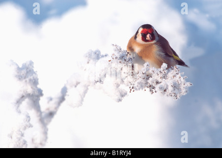 European Goldfinch (Carduelis carduelis), Schlitters, Zillertal Valley, Tyrol, Austria, Europe - Stock Photo