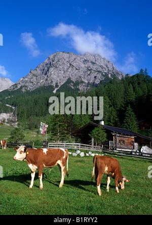 Cows grazing on Stallen-Alm alpine pasture in front of Mt. Rauher Knoell, Stallental Valley, Karwendel Range, Tyrol, - Stock Photo