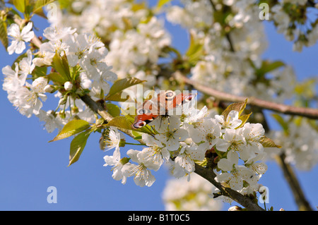 European Peacock Caterpillar Butterfly (Inachis io) perched on a cherry tree blossom (Cerasus) - Stock Photo