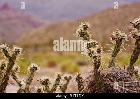 Bird nest in top of buckhorn cholla cactus (Opuntia acanthocarpa) with shallow depth of field - Stock Photo