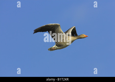 Greylag Goose Anser anser flying against blue sky on North Uist, Scotland in May. - Stock Photo