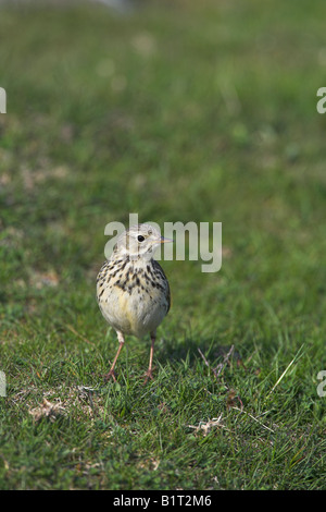 Meadow Pipit Anthus pratensis standing on grassland at Loch Ruthven, Scotland in May. - Stock Photo