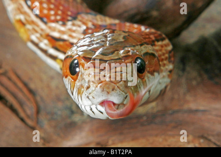 corn snake - portrait / Pantherophis guttatus - Stock Photo