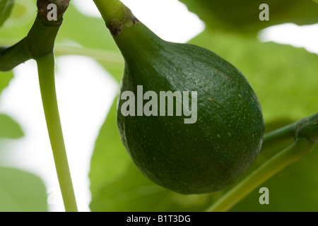 Single green fig ripening on fig tree branch close-up - Stock Photo