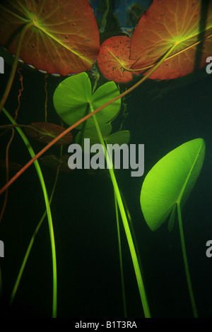 Underwater photo of Water Lily plants, Nymphaea alba, in the lake Ravnsjø, Norway. The lake is a part of the water - Stock Photo