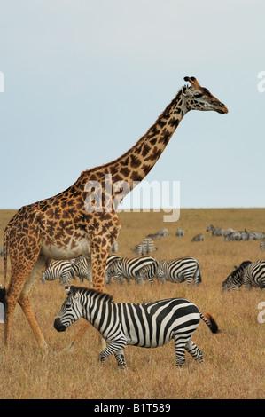 Masai giraffe and zebras - Stock Photo