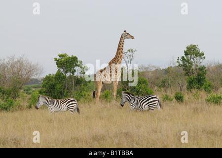 Masai giraffe and common zebras, Masai Mara - Stock Photo