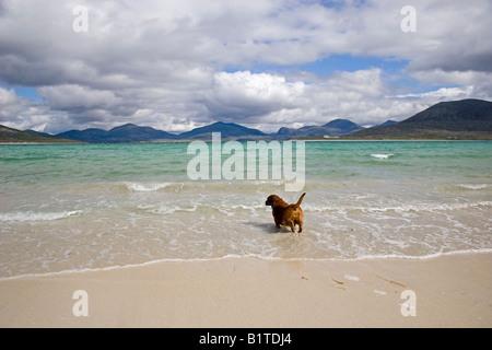 Dog paddling on Horgabost beach, Isle of Harris, Outer Hebrides, Scotland - Stock Photo
