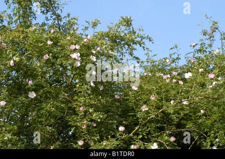 Wild Dog Rose (Rosa canina) - Stock Photo