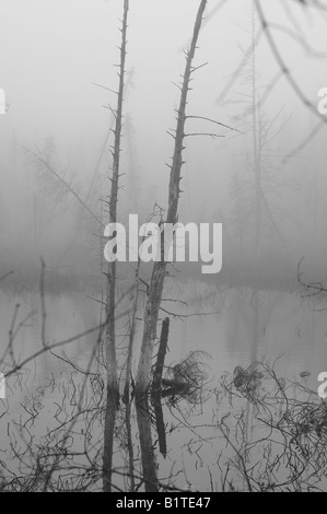 Black and white image of dead trees reflecting off the still waters of a stagnant swamp in the heavy early morning - Stock Photo