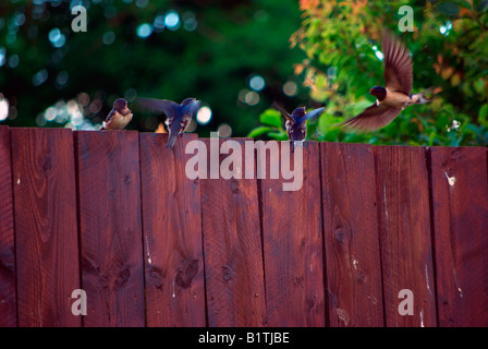 Adult Swallow feeds 3 babies on garden fence. Captured in June the fledglings are out of the nest but still learning - Stock Photo