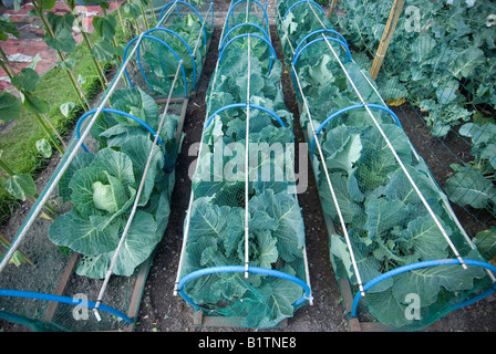 cabbage plants growing in three rows under netting tunnels - Stock Photo