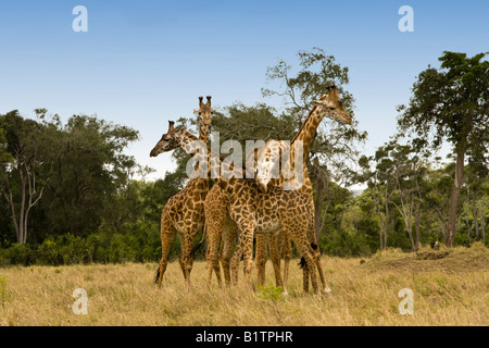 Funny Tower of 4 Giraffes posing 2 standing profile heads facing opposite directions 3rd head wrapped over them - Stock Photo